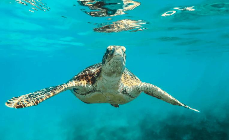 Ocean Conservancy Sea Turtles
